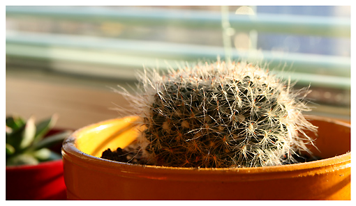 kaktusic u zutom