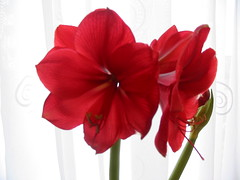 Beautifull Valentines Amaryllis