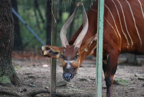 Bongo in der Safari de Peaugres