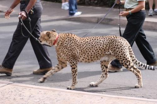 cheetah on a leash