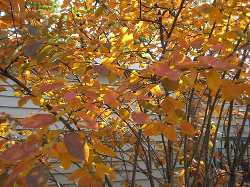 Serviceberry 'Autumn Brilliance' - morning