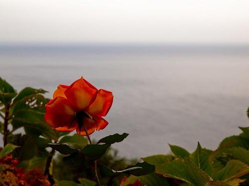 Trandafirul dinspre mare