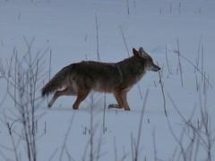 bonus fermilab species: coyote
