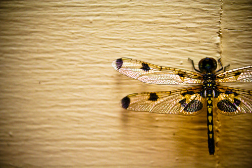 Yellow Drangonfly