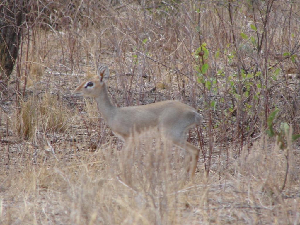 Antelopes – Buffalo Springs / Samburu Game Reserve