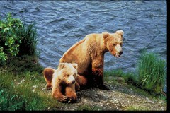 See and photograph bears and other wildlife in Alaska