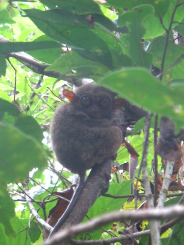 Tarsier at the Tarsier Research Centre, Bohol, Philippines