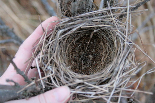 Nest - Field Sparrow?