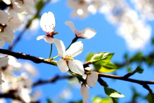 CherryBlossom002