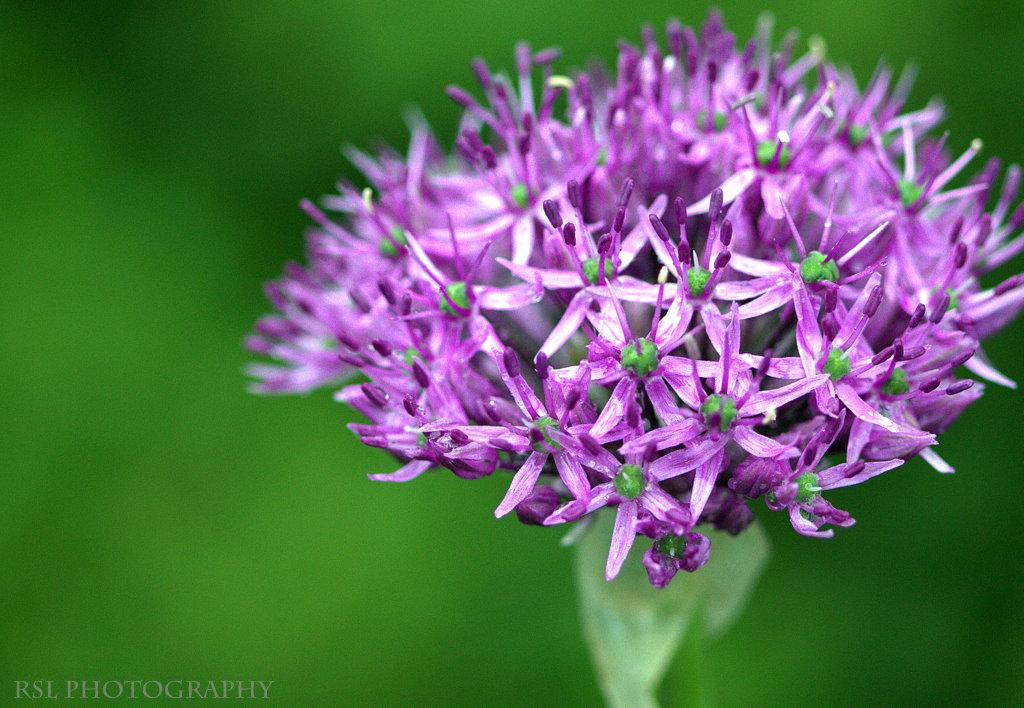 Allium!