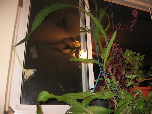 orchidcactus (2)