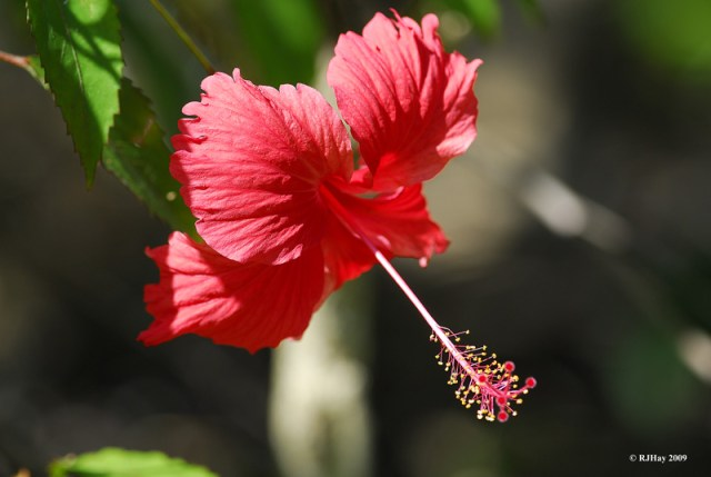 Hisbiscus - Punta Cana - 2009