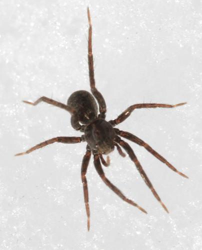 Thinlegged Wolf Spider (Pardosa sp)