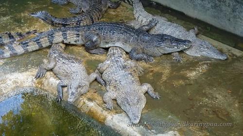 Crocodile Fram in Puerto Princesa 2