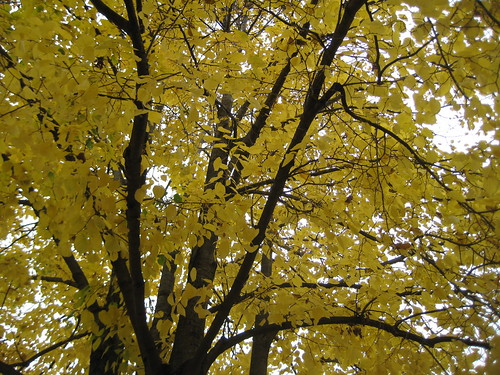 Basswood at peak color