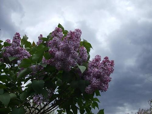 Lilac & The Rain