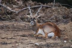 Hirschziegenantilope in der Safari de Peaugres