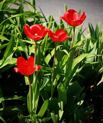 365-105 tulips