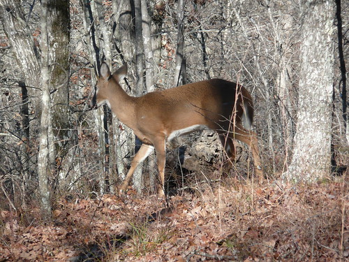 deer, nov 2009, ozarks