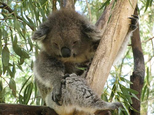 Koala at the Melbourne Zoo