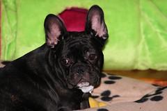 Dwight, a dark or 'seal' brindle French Bulldog
