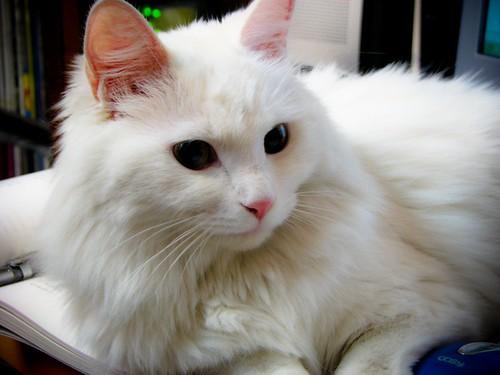 책상 위에 앉아 있는 하얀 고양이