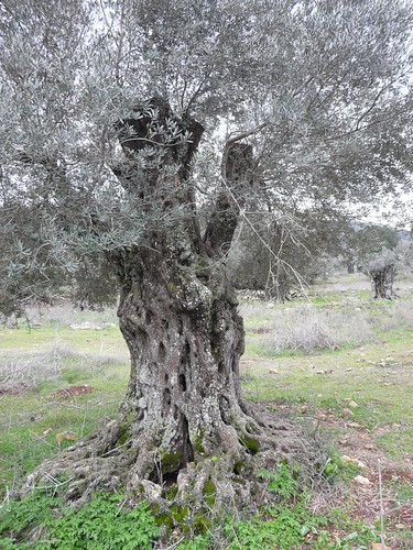Yodfat 94 - olive grove