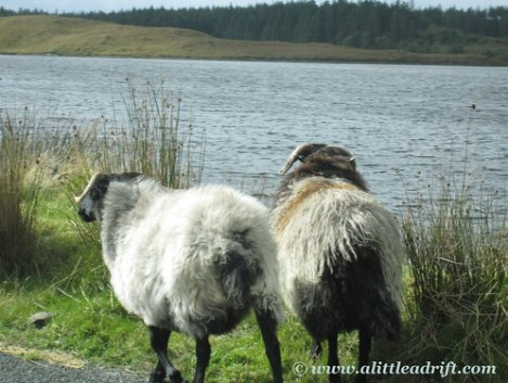 Sheep in Connemara, Ireland