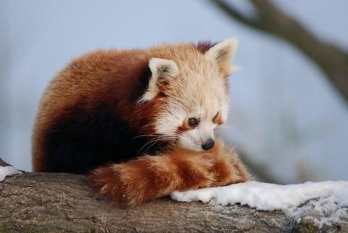 Roter Panda im Diernrijk in Nuenen