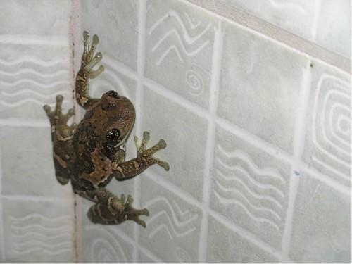 frog in campeche