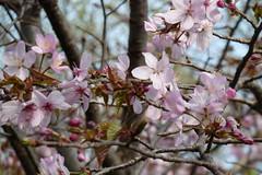 神奈川県自然環境保全センターの桜(Cherry blossoms at Kanagawa Nature Preservation Center, Japan, 2010)