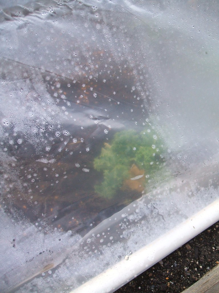 Lettuce through hoop house cover