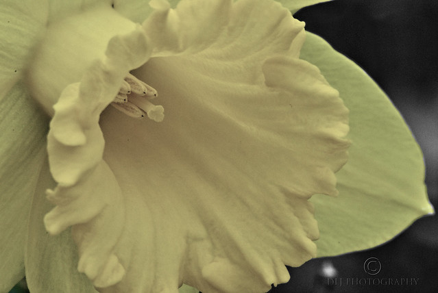 Faded Daffodil
