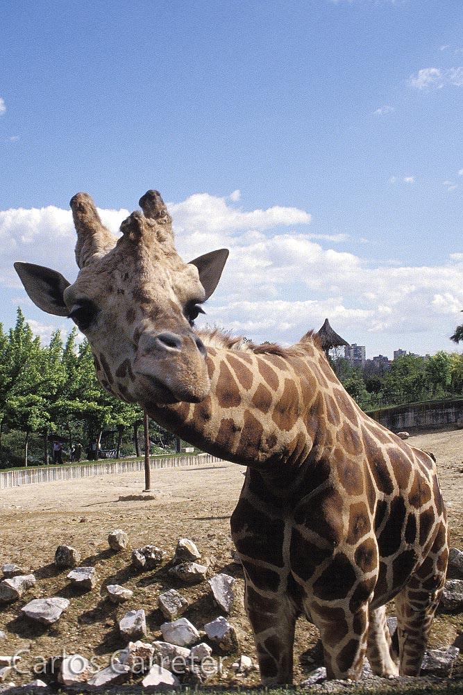 Zoo - Jirafa