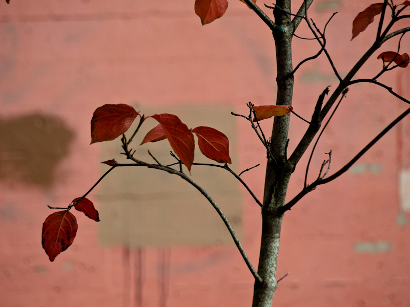 Red Leaves Downtown