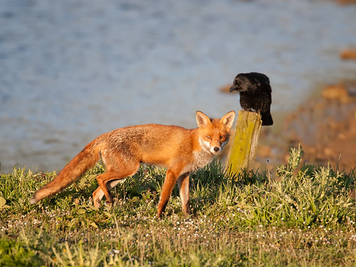 The Fox and The Crow