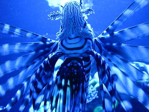 Lionfish angel