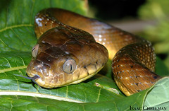 The Brown Treesnake, An Incredible Predator