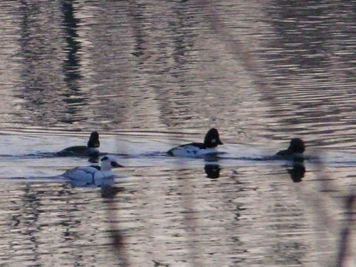 Smew (record shot)