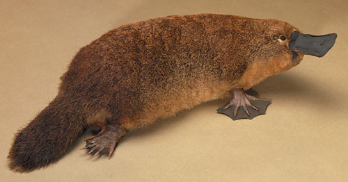 platypus by you.
