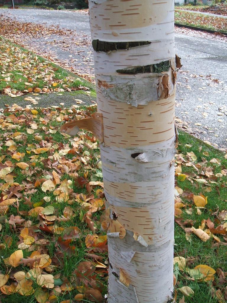 Paper-bark birch