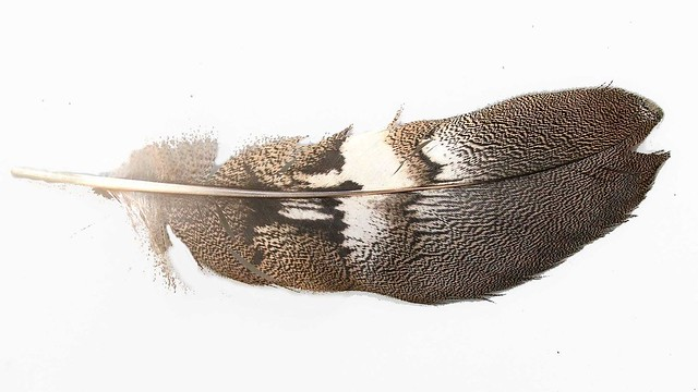 bustard feather