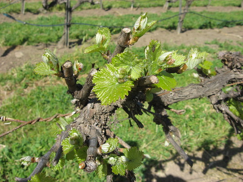 Riverbench Vineyard: new buds