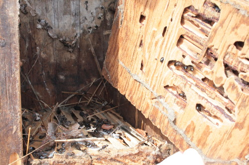 Carpenter ants in nestbox