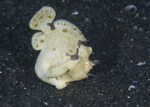 How does a frogfish eat? (4/5)