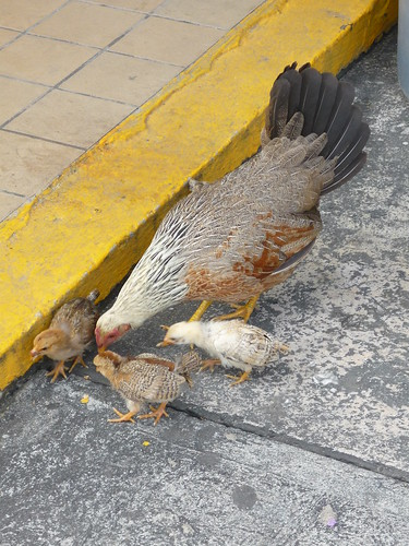 A hen and her chicks at the ferry terminal in Vieques