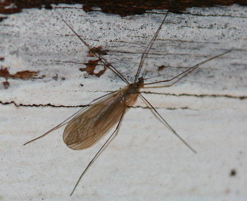 Winter Crane Fly, Trichoceridae