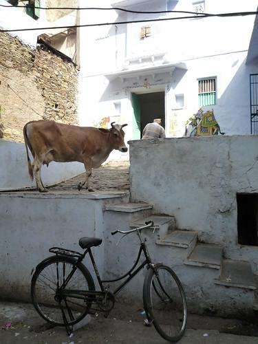Kuh im Hauseingang