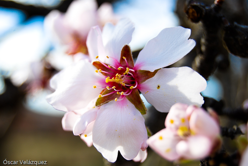 Prunus dulcis floris
