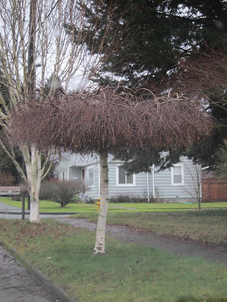 Strangely pruned birch tree